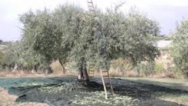 Colto in flagranza ladro di olive
