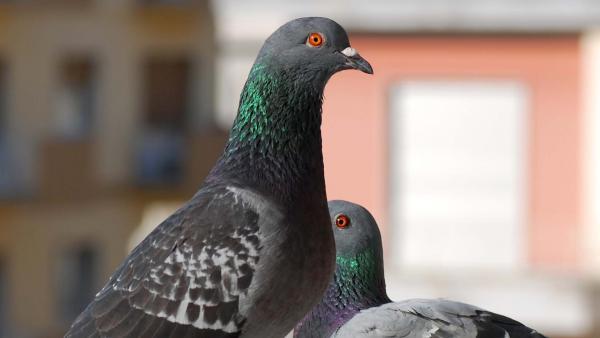 Arriva il disabituante naturale contro i piccioni